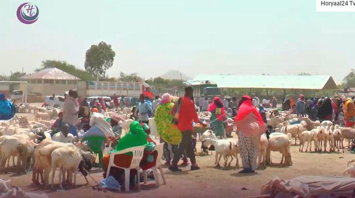Waa sidee Suuqa kala iibka Xoolaha Somaliland ee Sanadkan Muuna Bacarje